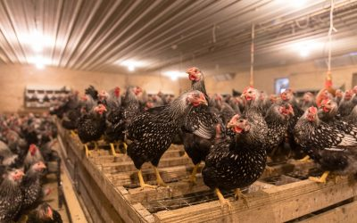 2 Common Chicken Diseases and How to Avoid Them